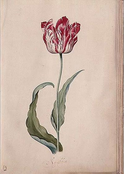 Tulip by Judith Leyster