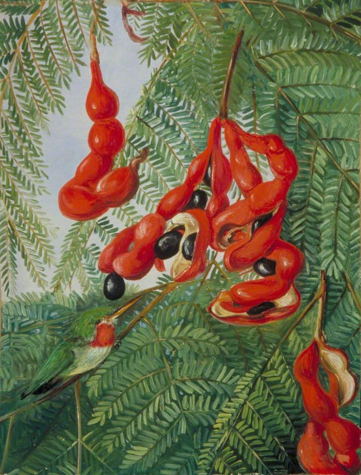 The Wild Tamarind of Jamaica with Scarlet Pod and Barbet by Marianne North (1872)